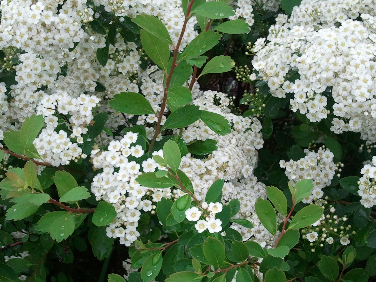 What the heck is this robert pogson for White flowering bush